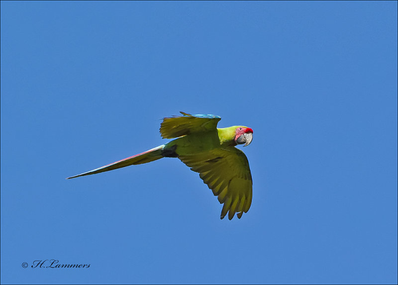 Great Green Macaw - Buffons ara - Ara ambiguus