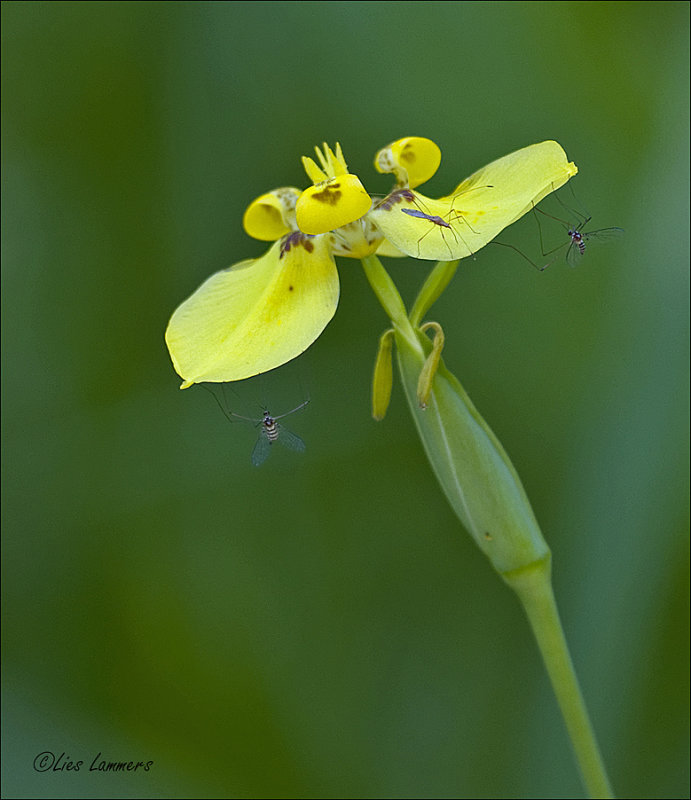 Orchid sp.
