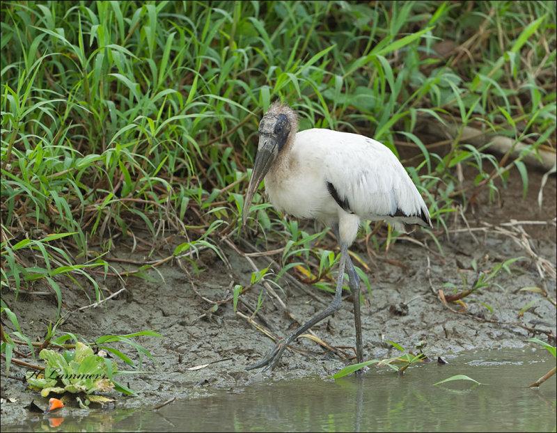 Wood Stork - Kaalkopooievaar - Mycteria americana