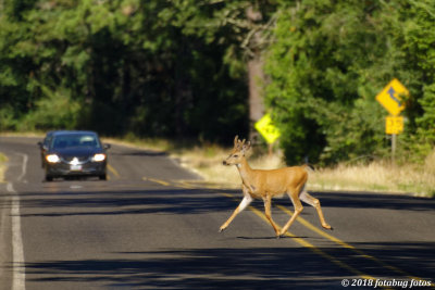 A Young Buck Who Thinks He owns the Road!