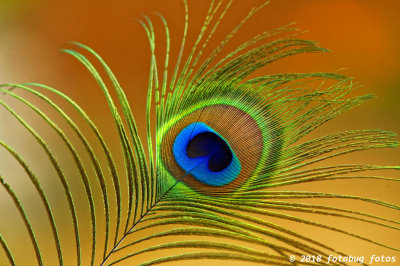 Peacock Feather in Warm Light