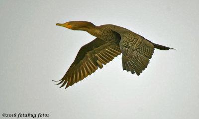 Cormorant Flying Low