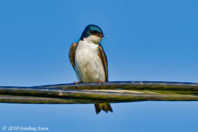 Tree Swallow With Mouthful