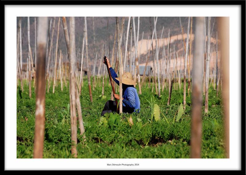 Farmer, Inle lake, Myanmar 2014