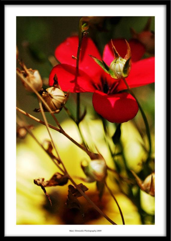 Red flower in Jeans garden, Bernay, France 2009
