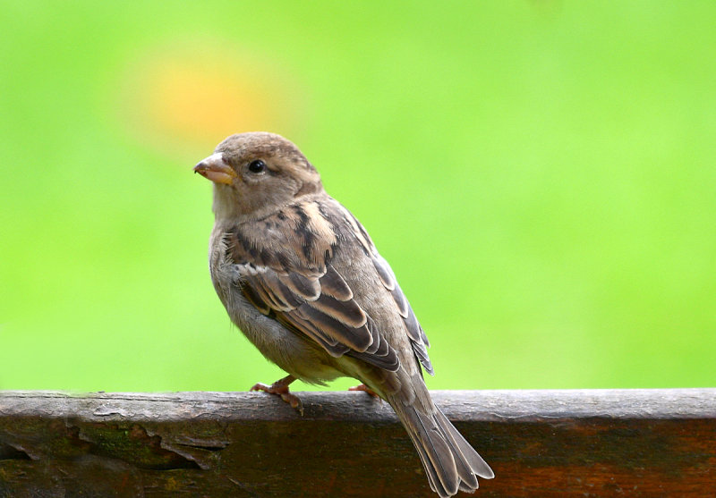 One of our House Sparrows