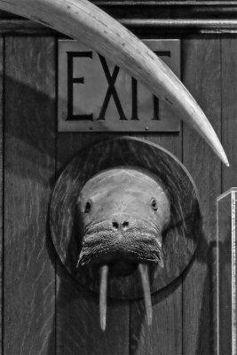 Walrus, The Explorers Club, New York City, New York, 2016