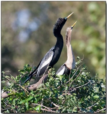 Anhinga - male (left) & female
