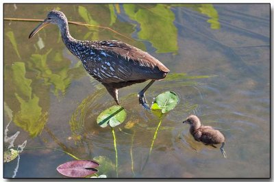 Limpkin with her chick