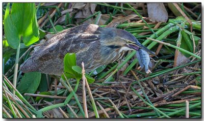 American Bittern with breakfast
