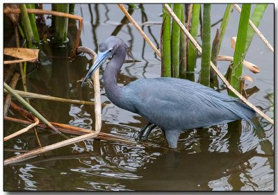 Little Blue Heron - with a crayfish