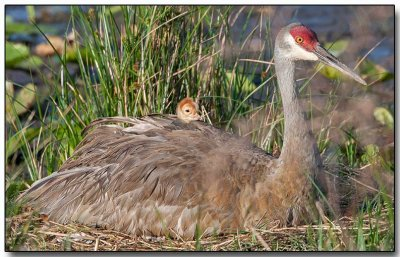 Sandhill Crane with a chick