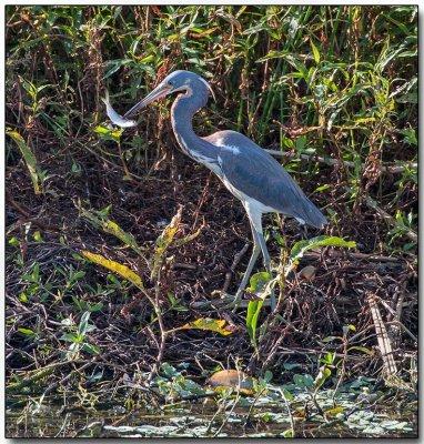Great Blue Heron - good fishing