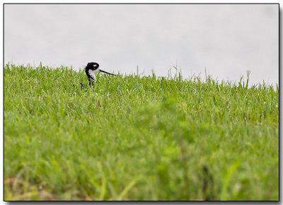 Black-necked Stilt - hiding
