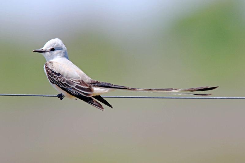 Scissor-tailed Flycatcher - male_6025.jpg