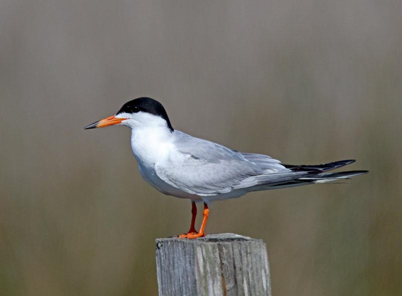 Forsters Tern - breeding_6965.jpg