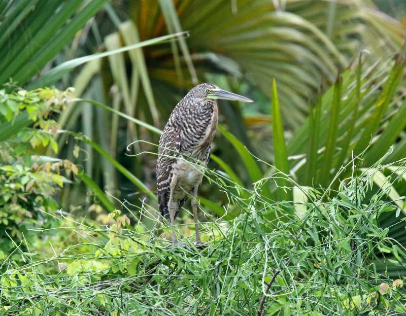 Bare-throated Tiger-Heron - juvenile_7639.jpg