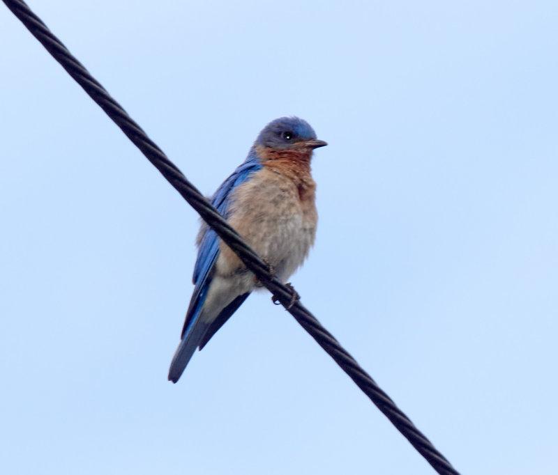 Eastern Bluebird - male_7983.jpg