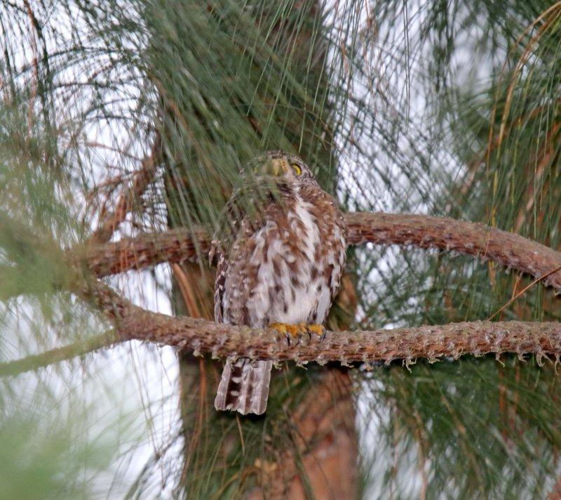 Guatemalan Pygmy-Owl_8200.jpg