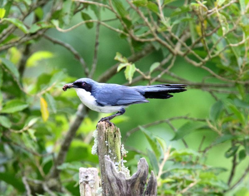 Blue-and-white Mockingbird_8502.jpg