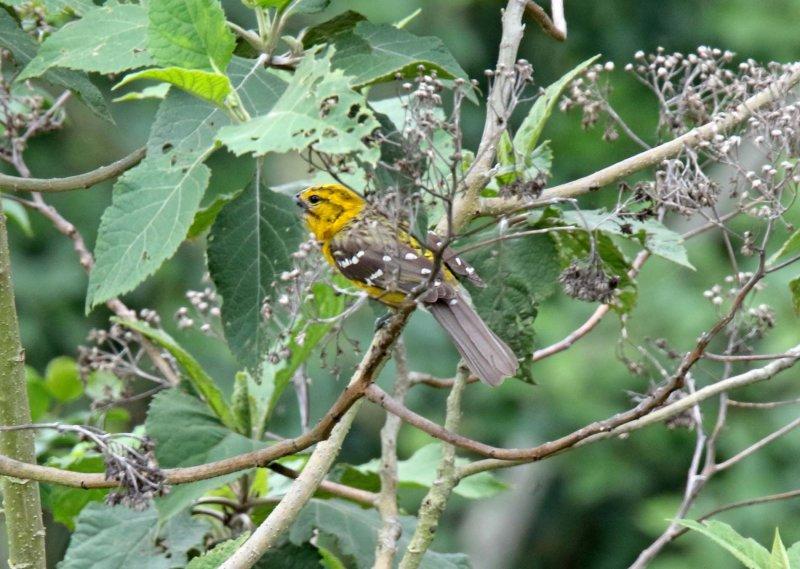 Yellow Grosbeak - female_8601.jpg