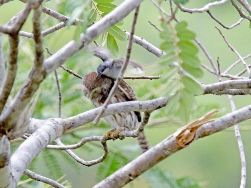 Ferruginous Pygmy-Owl and gnatcatcher_9719.jpg