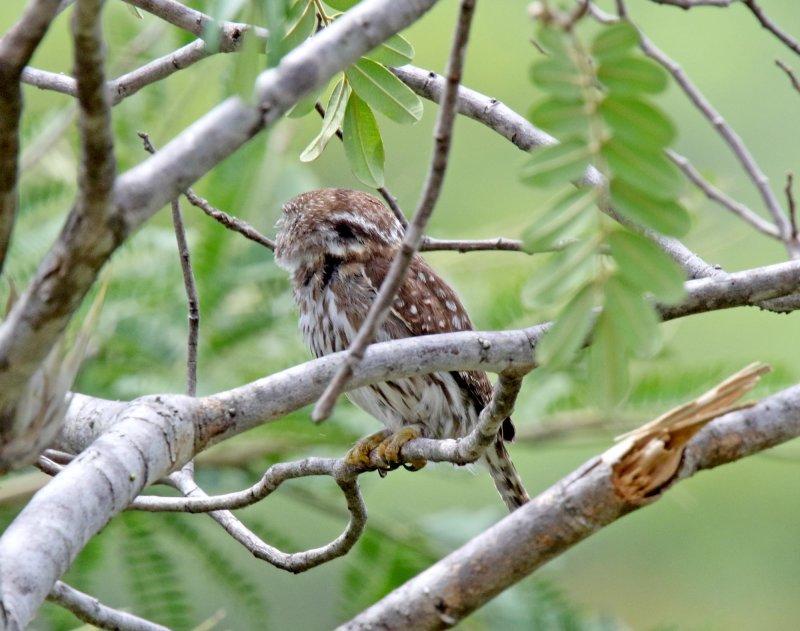Ferruginous Pygmy-Owl_9714.jpg