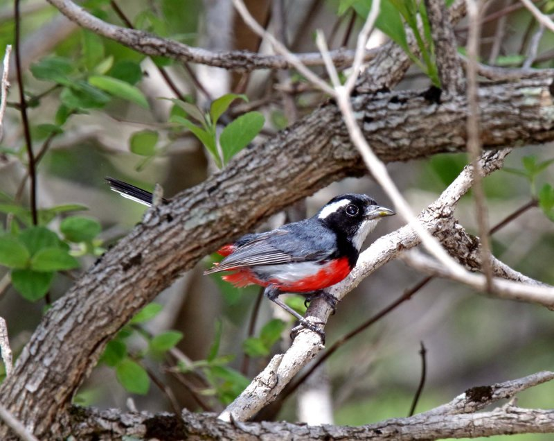 Red-breasted Chat_9662.jpg