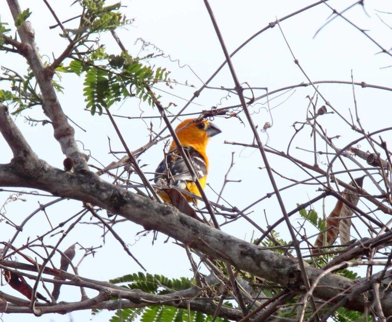 Yellow Grosbeak - male_9395.jpg
