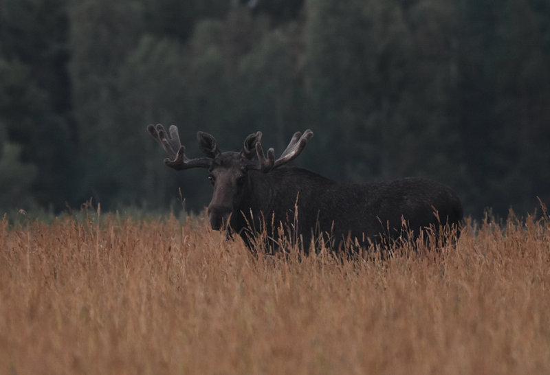 Älg-Elk-(Alces Alces)