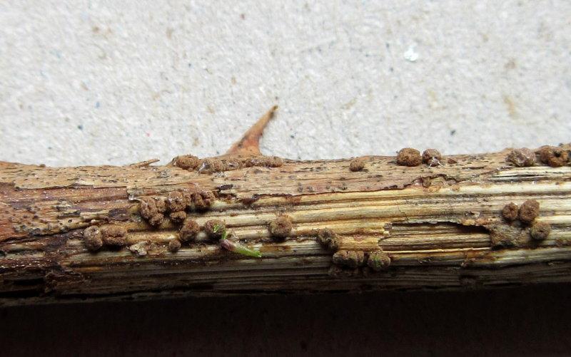 Diplodia rubi with Velutarina rufo-olivacea 001 on dead bramble stem Idle Valley NR Notts 20-3-2016.JPG