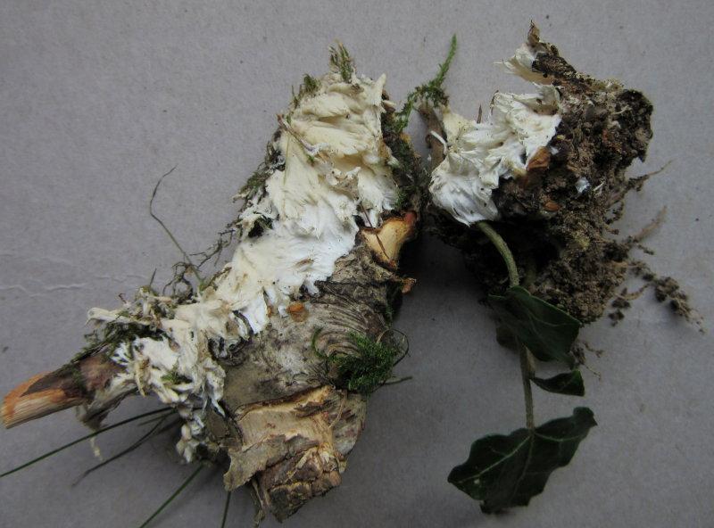 Trechispora fastidiosa 001 on beech wood Eaton Wood NR Notts 2016-11-5.JPG