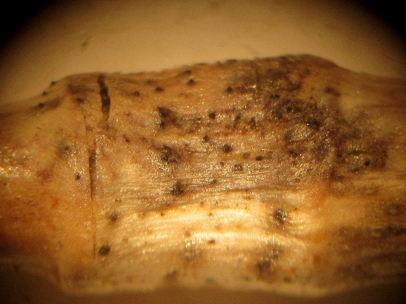 Phaeosphaeria eustoma 002 x60 on stem node Daneshill Lakes LNR Notts 9-5-2016.JPG