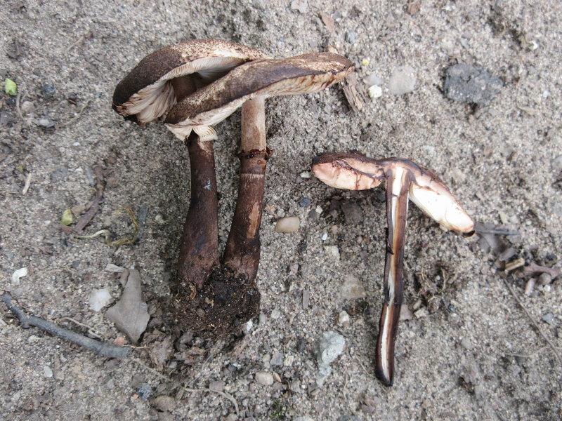 Leucoagaricus badhamii Papplewick Notts LS.JPG