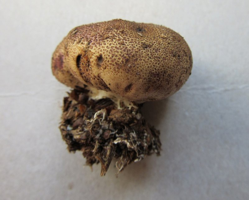 Scleroderma areolatum 001 Sherwood Forest NNR Notts 2017-9-9.JPG