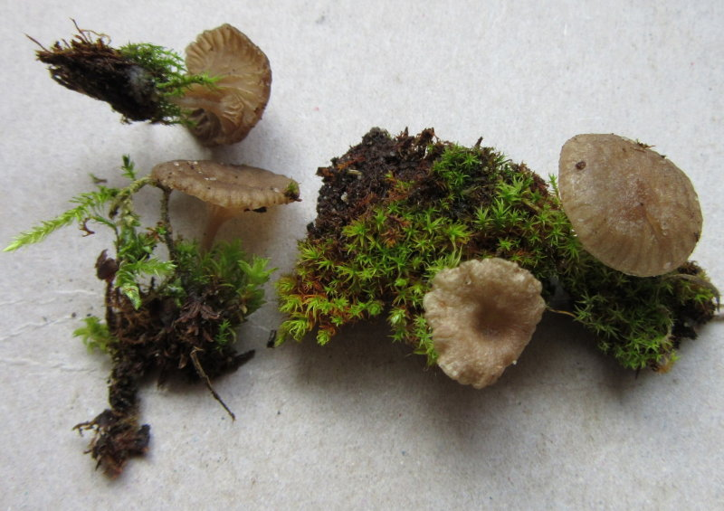 Arrhenia rickenii Bestwood CP Notts on mossy tarmac 2017-11-10.JPG