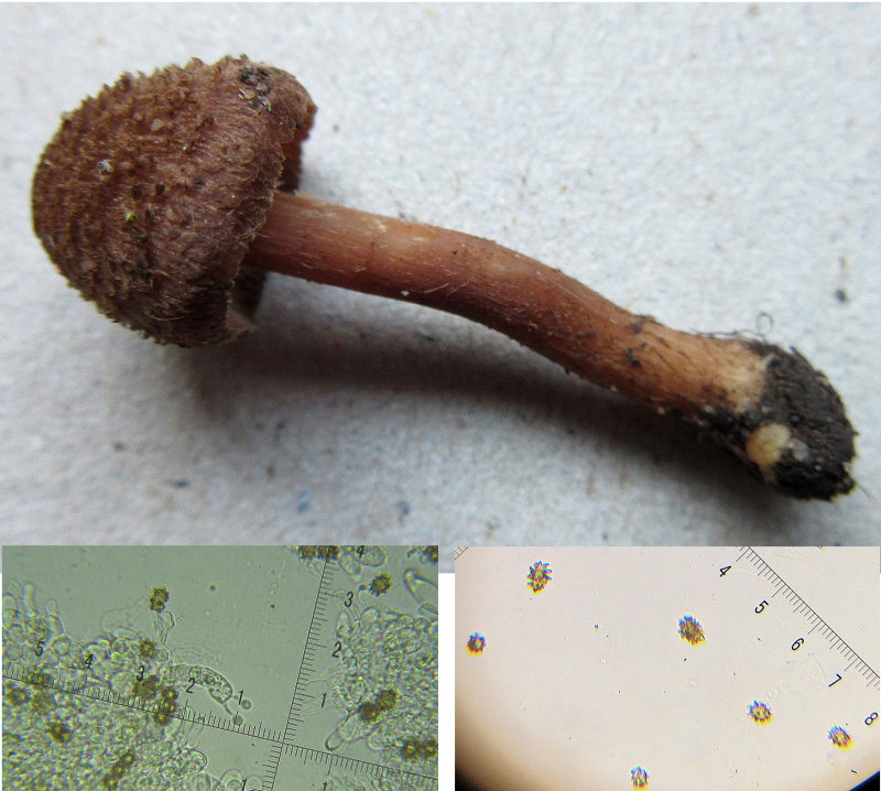 Inocybe calospora basidium and spores in sandy soil Ransom Wood Notts 2017-11-29.jpg