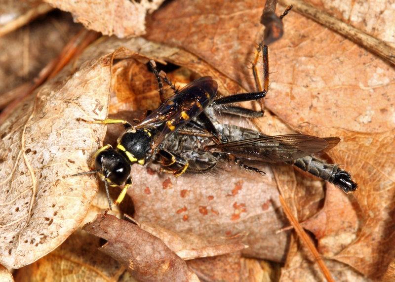 Ectemnius sp. (with Robber Fly prey)