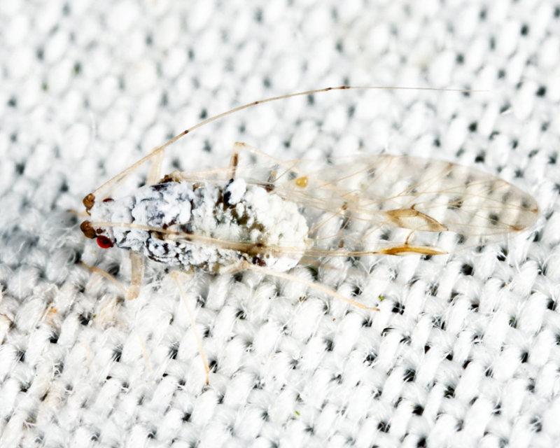 Drepanaphis sp.