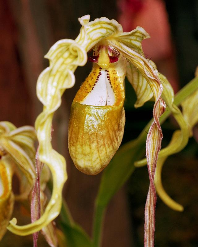 Hippie Orchid