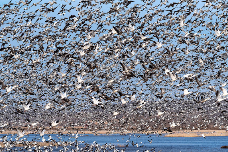 Loess Bluffs Snow Goose Migration