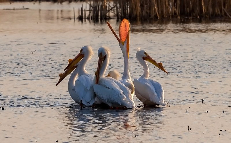 Loess Bluffs Pelican Migration 2017