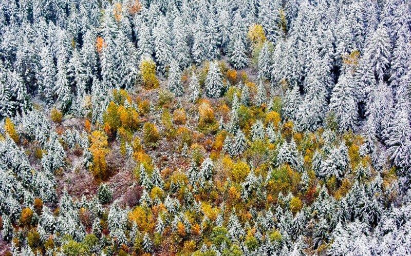 Fresh snow on fall foliage 529