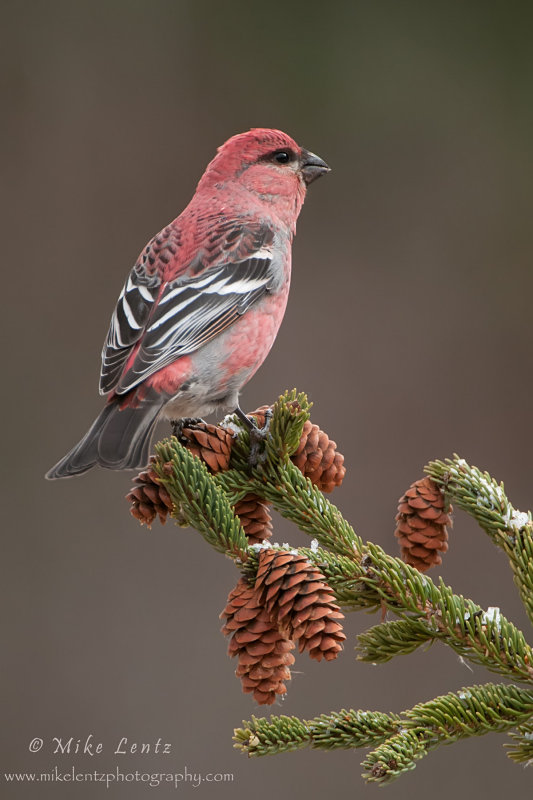 Pine Grosbeak on pine tree