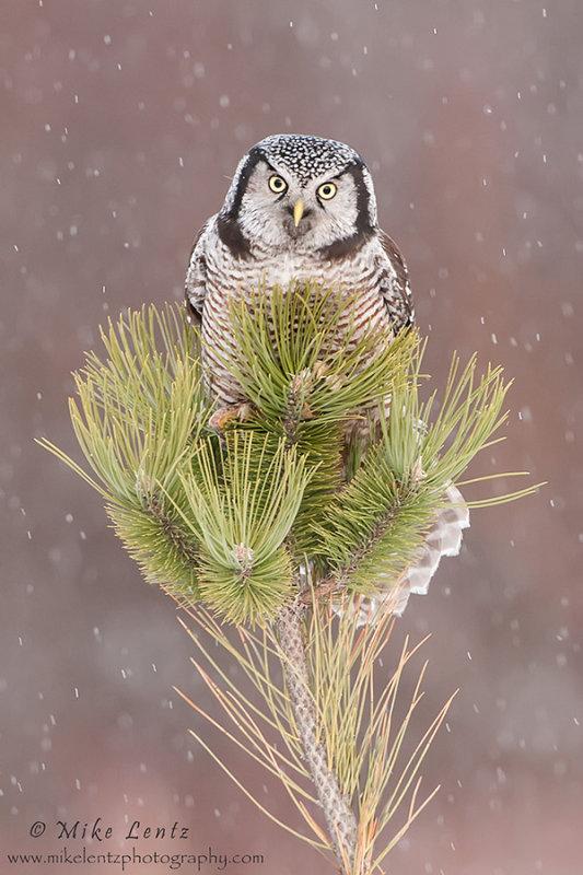 NHO on bushy pine in snow