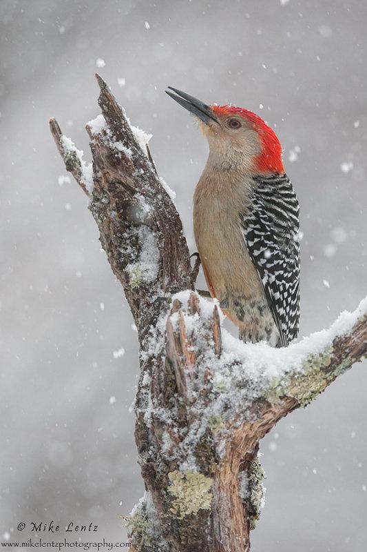 Red bellied WP winter scene