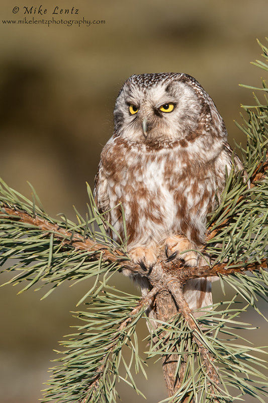 Boreal Owl in pines
