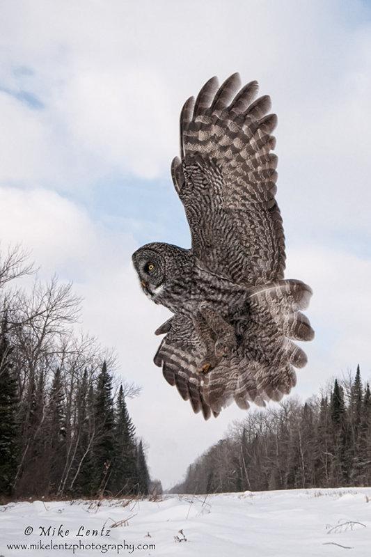 Great Gray Owl overhead