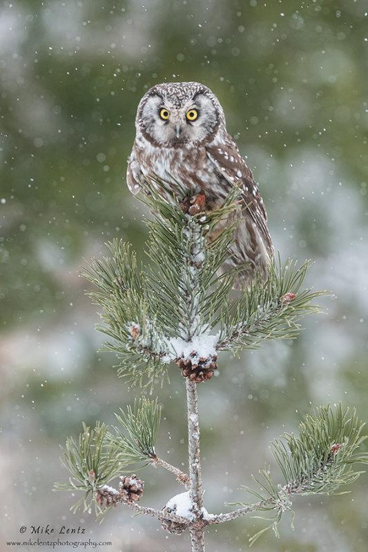 Boreal Owl in snowfall