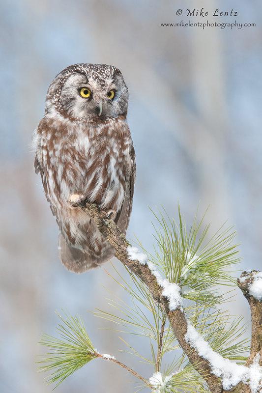 Boreal Owl on alert